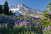 Lupine high on the mountain