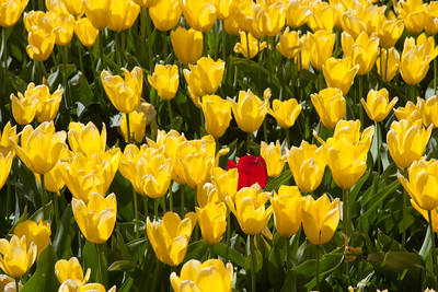 Tulip Festival at Wooden Shoe Tulip Farm, Woodburn, OR