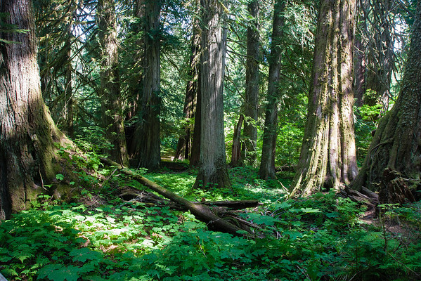 Grove of the Patriarchs Trail, Mt Rainier National Park The Ohanapecosh River surrounds an island of towering, thousand-year-old Douglas fir and western red cedar trees.